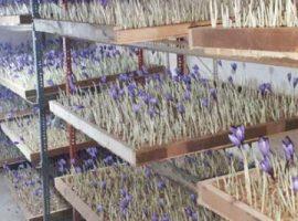گلخانه زعفران