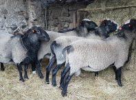 طرح پرورش گوسفند