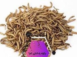 پرورش کرم میل ورم – Mealworm