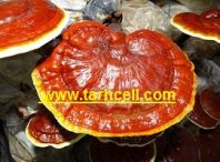 طرح پرورش قارچ گانودرما