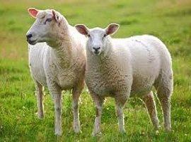 طرح توجیهی پرورش گوسفند شاروله -ویرایش ۱۳۹۸