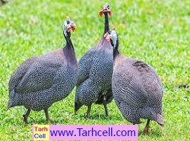 طرح توجیهی پرورش مرغ شاخدار،مروارید،گینه-ویرایش ۱۳۹۹