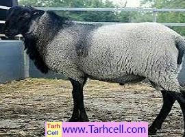 طرح توجیهی پرورش گوسفند رومانف ۱۰۰ راسی- ویرایش ۱۳۹۹