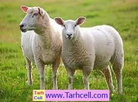 طرح توجیهی پرورش گوسفند شاروله -ویرایش ۱۳۹۹