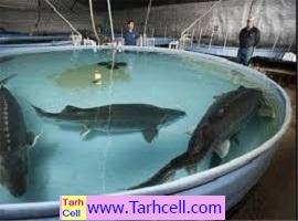 طرح توجیهی پرورش ماهی خاویار در استخر – ویرایش ۱۳۹۹