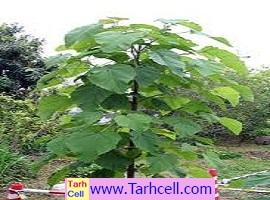 طرح توجیهی درخت پالونیا (پائولونیا) – ویرایش ۱۳۹۸