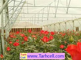 طرح توجیهی گلخانه گل رز-ویرایش سال ۱۳۹۹