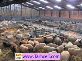 طرح توجیهی پرورش گوسفند پرواری ۱۰۰راسی  (word,pdf) ویرایش سال ۱۴۰۰